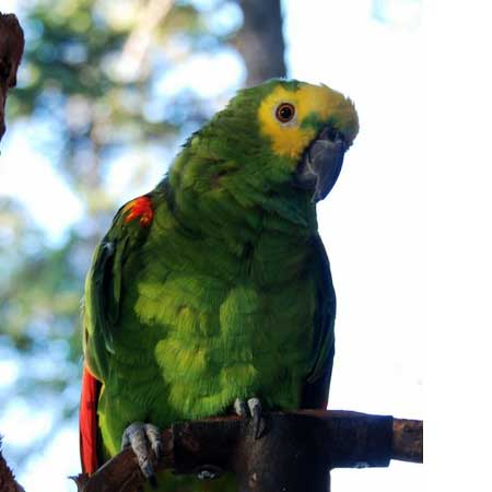 Paulie the yellow-crested Amazon parrot